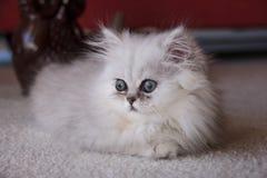 Kitten sitting on a floor. White Persian kitten is sitting on the floor Stock Photography