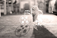 Kitten sitting in a flower pot, bike shape. British Shorthair kitten sitting in a flower pot bicycle shape Royalty Free Stock Photos