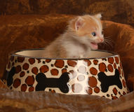 Kitten sitting in food dish Stock Images