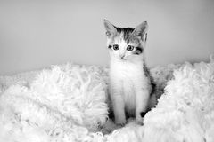 Kitten sitting on a fur rug for cats (black and white) Stock Image
