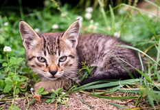 Kitten sitting in the grass. Very severe and serious tabby kitten looks like a lynx with big ears sitting in the grass royalty free stock photography