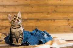 Kitten sitting on jeans and looking up Royalty Free Stock Photography