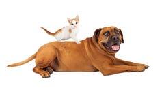 Kitten Sitting on Mastiff Dog Royalty Free Stock Photos