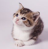 Kitten. Sitting on off white backdrop Stock Photos