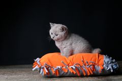 Kitten sitting on an orange pillow, black background. Wooden floor, isolated portrait. British Shorthair lilac cat stock photography