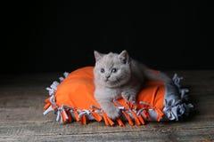 Kitten sitting on an orange pillow, black background. Wooden floor, isolated portrait. British Shorthair lilac cat stock photo