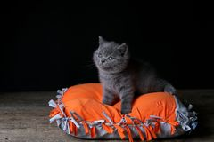 Kitten sitting on an orange pillow, black background. Wooden floor, isolated portrait royalty free stock photography