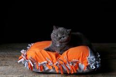 Kitten sitting on an orange pillow, black background. Wooden floor, isolated portrait royalty free stock photo