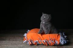 Kitten sitting on an orange pillow, black background. Wooden floor, isolated portrait stock images