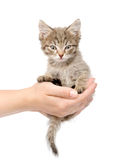 Kitten sitting on a palm. isolated on white background Stock Photo
