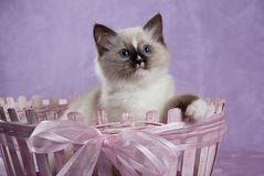 Kitten sitting in pink basket with bow. Ragdoll kitten sitting in pink basket, looking curious, showing off blue eyes Stock Photography
