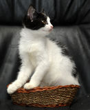 Kitten sitting in a small wicker basket Royalty Free Stock Photography