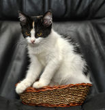 Kitten sitting in a small wicker basket Stock Photos