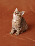 Kitten sitting. Tabby kitten sitting and looking up on a brown background Royalty Free Stock Photos