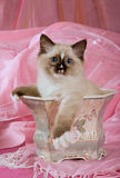 Kitten sitting in victorian planter. Cute Seal point Ragdoll kitten sitting in victorian planter against pink background fabrics Stock Images