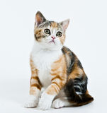 Kitten sitting on a white. Kitten sitting in a white background and looking at something royalty free stock images