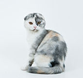 Kitten sitting on a white. Kitten sitting in a white background and looking at me. Schotish fold royalty free stock photos