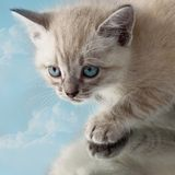 Kitten sky bright blue eyes. Siamese Royalty Free Stock Images