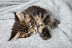 Kitten sleep under blanket. Maine Coon kitten sleep under blanket Stock Photography