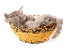 Kitten sleeping. The small grey fluffy kitten sleeps in a basket on a white background Royalty Free Stock Images