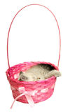 Kitten sleeping in a basket. The kitten sleeps in a pink basket on a white background Royalty Free Stock Photography