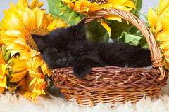 Kitten sleeping in a basket Royalty Free Stock Images