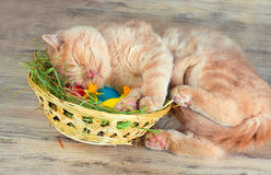 Kitten sleeping on the basket with colored eggs. Little cream kitten sleeping on the basket with colored eggs Stock Photo