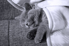 Kitten sleeping Stock Image