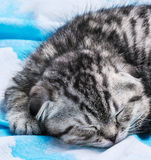 Kitten is sleeping and dreaming Royalty Free Stock Images