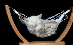 Kitten sleeping in hammock Royalty Free Stock Photos