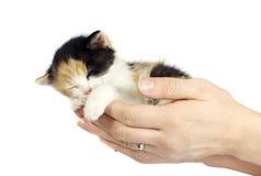 Kitten sleeping in hands isolated. Kitten sleeping in girl's hands isolated on white Royalty Free Stock Image