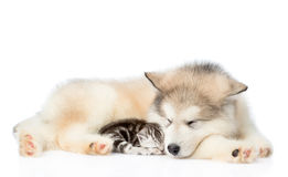 Kitten sleeping next to a puppy. isolated on white background Royalty Free Stock Photography