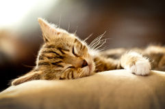 Kitten sleeping in a sofa Royalty Free Stock Images