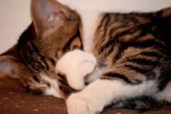 Kitten Sleeping Tight. A cute domestic cat sleeping tight on a couch, covering its face with its paw stock photo