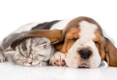 Kitten sleeping under the ear basset hound puppy. isolated on white Stock Photos