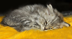 Kitten sleeping Royalty Free Stock Photography