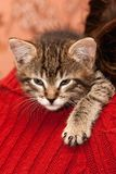 Kitten sleeps on a shoulder Royalty Free Stock Image