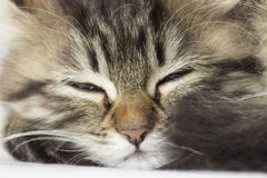 Kitten sleeps Royalty Free Stock Photos