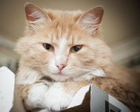 Kitten slumbers. Royalty Free Stock Images
