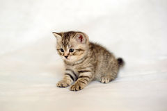 Kitten small brindle coat color. Royalty Free Stock Photography