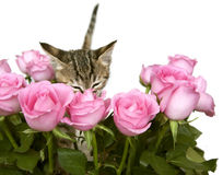 Kitten Smelling Pink Roses. A kitten smells a bouquet of pink roses Stock Photography