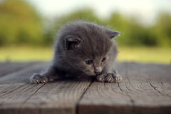 Kitten with a smoky color and blue eyes outdoors against the bac Stock Photography