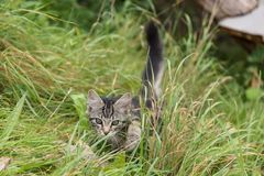 Kitten sneaks into the meadow. Close-up portrait Stock Image