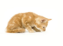Kitten sniffing Royalty Free Stock Photo