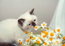 Kitten sniffing chamomile Royalty Free Stock Photos