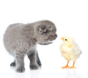 Kitten sniffing chicken. isolated on white background Royalty Free Stock Photo