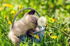 Kitten sniffing dandelion Stock Images