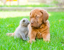 Kitten sniffing puppy on the green grass.  Royalty Free Stock Photo