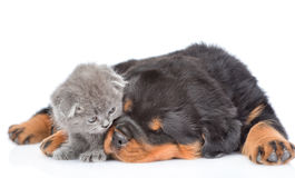 Kitten sniffing a sleeping puppy. Isolated on white background Royalty Free Stock Photography