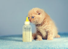 Kitten sniffs bottle with milk Stock Photos